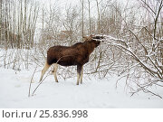 Купить «Elk feeds with branches of bushes and trees in winter park», фото № 25836998, снято 25 января 2015 г. (c) Losevsky Pavel / Фотобанк Лори