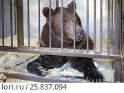 Купить «The Himalayan bear in a cage with wood sawdust», фото № 25837094, снято 28 апреля 2015 г. (c) Losevsky Pavel / Фотобанк Лори