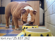 Купить «English Bulldog eating from yellow bowl in the kitchen», фото № 25837262, снято 26 октября 2014 г. (c) Losevsky Pavel / Фотобанк Лори