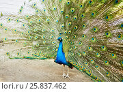 Купить «Peacock with the spread tail in the open-air cage», фото № 25837462, снято 23 июня 2015 г. (c) Losevsky Pavel / Фотобанк Лори
