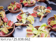 Купить «Venus flytrap (Dionaea muscipula) flowers in pots on tray», фото № 25838662, снято 26 июня 2015 г. (c) Losevsky Pavel / Фотобанк Лори