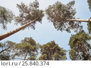 Купить «Low angle view on trunks and crowns of pines against blue sky», фото № 25840374, снято 1 июня 2015 г. (c) Losevsky Pavel / Фотобанк Лори