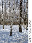 Купить «Березки в зимнем парке», эксклюзивное фото № 25843454, снято 16 февраля 2017 г. (c) Елена Коромыслова / Фотобанк Лори