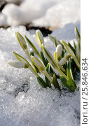 Buds of snowdrops Galanthus. Стоковое фото, фотограф Марина Горянцева / Фотобанк Лори