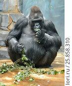 Купить «Западная равнинная горилла (Gorilla gorilla gorilla) обедает», фото № 25858310, снято 23 марта 2017 г. (c) Валерия Попова / Фотобанк Лори