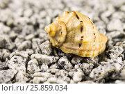 Раковина ропана на песке. Стоковое фото, фотограф Михаил Аникаев / Фотобанк Лори
