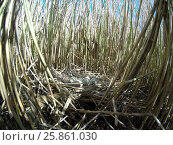 Купить «Яица в гнезде. Выпь большая. Bittern (Botaurus stellaris).», фото № 25861030, снято 13 мая 2016 г. (c) Василий Вишневский / Фотобанк Лори