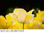 Купить «Желтые бахромчатые тюльпаны», фото № 25867014, снято 4 марта 2016 г. (c) Татьяна Белова / Фотобанк Лори