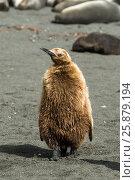 Купить «Fluffy King penguin chick», фото № 25879194, снято 23 января 2007 г. (c) Vladimir / Фотобанк Лори