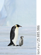 Купить «Emperor Penguin with chick», фото № 25885986, снято 20 октября 2010 г. (c) Vladimir / Фотобанк Лори