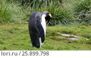 Купить «King penguins at South Georgia», видеоролик № 25899798, снято 4 апреля 2017 г. (c) Vladimir / Фотобанк Лори