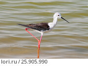 Купить «The black-winged stilt, common stilt, or pied stilt (Himantopus himantopus) at an oasis lagoon Al Qudra Lakes in the desert in the United Arab Emirates in Arabia», фото № 25905990, снято 23 июля 2019 г. (c) BE&W Photo / Фотобанк Лори