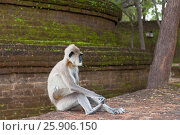 Купить «Gray langurs or Hanuman langurs, the most widespread langurs of the Indian Subcontinent, are a group of Old World monkeys, Polonnaruwa, Sri Lanka», фото № 25906150, снято 25 мая 2019 г. (c) BE&W Photo / Фотобанк Лори
