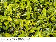 Fresh young green tea sprout on tea bush at plantation. Стоковое фото, агентство BE&W Photo / Фотобанк Лори