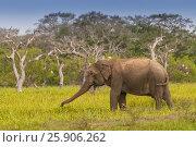 Asian or Asiatic elephant (Elephas maximus) in a swamp of Yala national park, Sri Lanka. Стоковое фото, агентство BE&W Photo / Фотобанк Лори