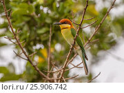 Купить «Chestnut-headed Bee-eater (Merops leschenaulti) at Yala NP, Sri Lanka», фото № 25906742, снято 19 мая 2019 г. (c) BE&W Photo / Фотобанк Лори