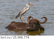 Купить «Grey heron (Ardea cinerea) and Asian water buffalo (Bubalus bubalis) in Yala national park, Sri Lanka», фото № 25906774, снято 23 октября 2018 г. (c) BE&W Photo / Фотобанк Лори