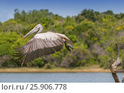 Купить «Spot-billed pelican or grey pelican (Pelecanus philippensis), Yala national patk, Sri Lanka», фото № 25906778, снято 31 мая 2020 г. (c) BE&W Photo / Фотобанк Лори