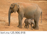Купить «Young african elephant (Loxodonta africana) with mother, Aberdare National Park, Kenya», фото № 25906918, снято 26 марта 2019 г. (c) BE&W Photo / Фотобанк Лори