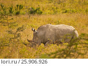 Купить «White rhinoceros ( Ceratotherium simum) in Lake Nakuru national park in Kenya», фото № 25906926, снято 12 декабря 2019 г. (c) BE&W Photo / Фотобанк Лори