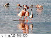 Купить «The lesser flamingoes (Phoenicopterus minor) at lake Nakuru, Kenya», фото № 25906930, снято 25 марта 2019 г. (c) BE&W Photo / Фотобанк Лори