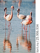 Купить «The lesser flamingoes (Phoenicopterus minor) at lake Nakuru, Kenya», фото № 25906934, снято 25 марта 2019 г. (c) BE&W Photo / Фотобанк Лори