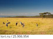 Купить «Marabou Storks (Leptoptilos crumeniferus), Lake Nakuru, Kenya», фото № 25906954, снято 21 июля 2019 г. (c) BE&W Photo / Фотобанк Лори