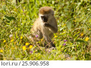 Купить «Black-faced vervet or green monkey (Cercopithecus aethiops) Lake Nakuru National Park, Kenya», фото № 25906958, снято 14 ноября 2019 г. (c) BE&W Photo / Фотобанк Лори