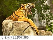 Купить «Bengal tiger (Panthera tigris), Bangkok zoo, Thailand», фото № 25907386, снято 23 августа 2019 г. (c) BE&W Photo / Фотобанк Лори