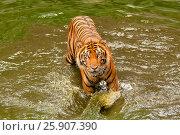 Купить «Bengal tiger (Panthera tigris), Bangkok zoo, Thailand», фото № 25907390, снято 23 августа 2019 г. (c) BE&W Photo / Фотобанк Лори