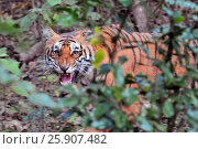 Купить «The Royal Bengal Tiger (Panthera tigris tigris), Corbet National Park, India, Asia», фото № 25907482, снято 23 августа 2019 г. (c) BE&W Photo / Фотобанк Лори