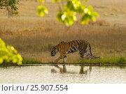 Купить «The Bengal tiger (Panthera tigris tigris) on the lake shore in Ranthambore National Park, India», фото № 25907554, снято 23 августа 2019 г. (c) BE&W Photo / Фотобанк Лори