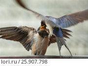 Купить «Swallow feeding its young. The barn swallow (Hirundo rustica) is the most widespread species of swallow in the world.», фото № 25907798, снято 26 января 2020 г. (c) BE&W Photo / Фотобанк Лори