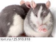 Купить «Симпатичная крыса умывает лапками свой нос.», фото № 25910818, снято 18 июня 2019 г. (c) Olesya Tseytlin / Фотобанк Лори