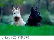 Купить «Scottish terrier», фото № 25919370, снято 16 апреля 2016 г. (c) easy Fotostock / Фотобанк Лори