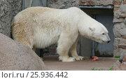 Купить «White polar bear eating fish», видеоролик № 25936442, снято 25 марта 2017 г. (c) Михаил Коханчиков / Фотобанк Лори