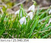 Купить «Цветущий подснежник, или Галантус ( Galánthus) весной в лесу», фото № 25940354, снято 6 апреля 2017 г. (c) Алёшина Оксана / Фотобанк Лори