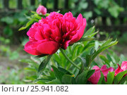 Bright pink peony in the garden. Стоковое фото, фотограф Марина Горянцева / Фотобанк Лори