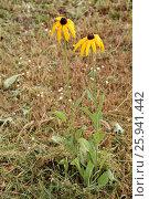 Yellow Rudbeckia flowers in the garden. Natural scene. Стоковое фото, фотограф MARINA EVDOKIMOVA / Фотобанк Лори