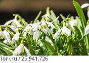 Купить «Подснежник, или Галантус ( Galánthus) весной», фото № 25941726, снято 6 апреля 2017 г. (c) Алёшина Оксана / Фотобанк Лори