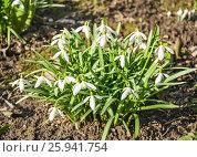 Купить «Подснежник, или Галантус ( Galánthus) весной», фото № 25941754, снято 6 апреля 2017 г. (c) Алёшина Оксана / Фотобанк Лори