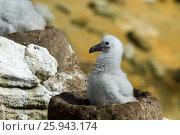 Купить «Black browed albatross chick Saunders Island», фото № 25943174, снято 18 января 2007 г. (c) Vladimir / Фотобанк Лори