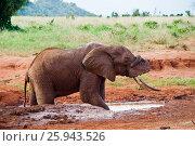 Купить «African elephant pours mud», фото № 25943526, снято 8 января 2012 г. (c) Юлия Шангареева / Фотобанк Лори