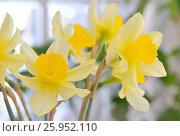 Купить «Fresh spring narcissus flowers», фото № 25952110, снято 10 апреля 2017 г. (c) Iordache Magdalena / Фотобанк Лори
