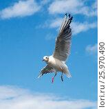 Балтийская чайка в небе. Стоковое фото, фотограф Олег Пученков / Фотобанк Лори