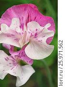 Купить «LATHYRUS ODORATUS.», фото № 25971562, снято 1 июля 2012 г. (c) age Fotostock / Фотобанк Лори
