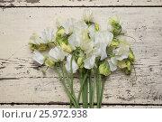 Купить «LATHYRUS ODORATUS 'WHITE SUPREME'», фото № 25972938, снято 19 января 2018 г. (c) age Fotostock / Фотобанк Лори