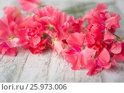 Купить «LATHYRUS ODORATUS 'MILLENNIUM'», фото № 25973006, снято 23 апреля 2018 г. (c) age Fotostock / Фотобанк Лори
