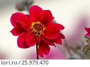 Хризантема (Chrysanthemum) Стоковое фото, фотограф Владимир Борисов / Фотобанк Лори
