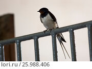 Купить «Barn swallow sits on iron fence», фото № 25988406, снято 27 июля 2015 г. (c) Юлия Машкова / Фотобанк Лори